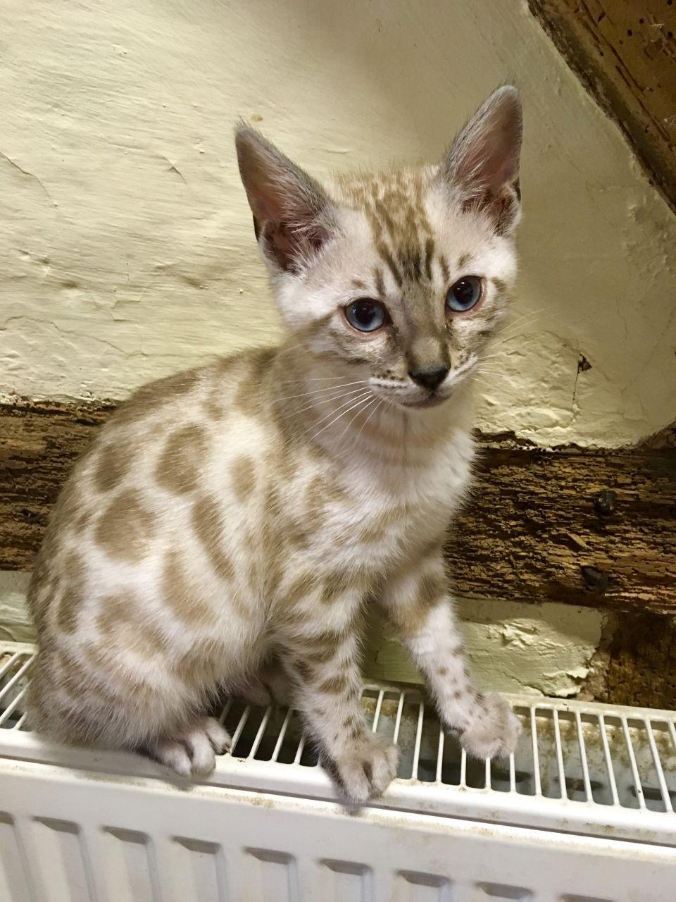 Bengal Cats Sale Illinois