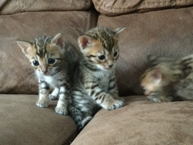 Bengal Cats For Sale | Chicago, IL #217747 | Petzlover