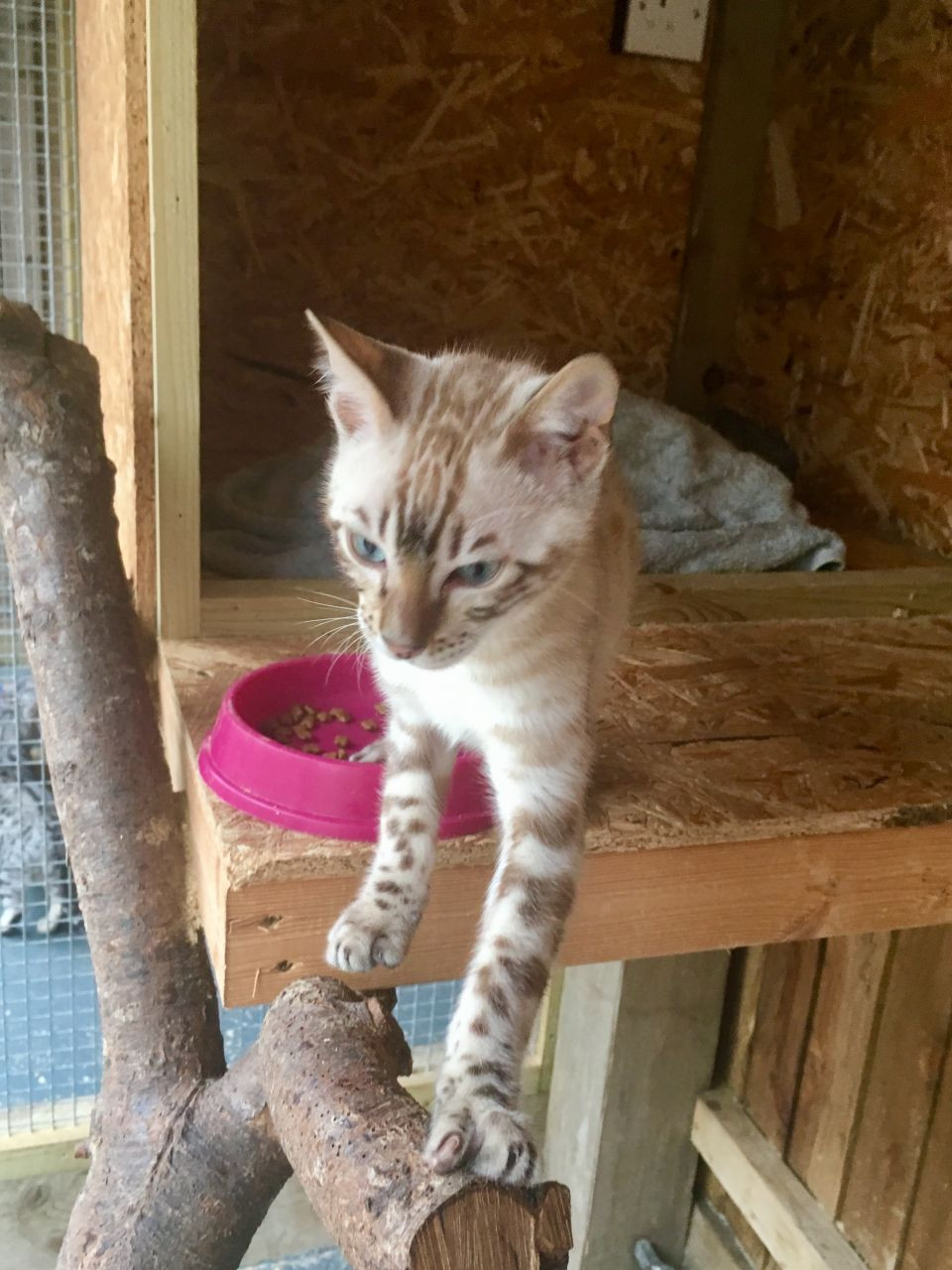 Bengal Cats For Sale Chicago Heights Il 221314