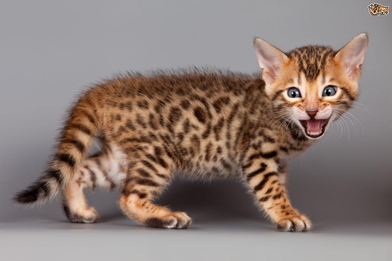 Bengal Cats For Sale Virginia Beach Va 223963