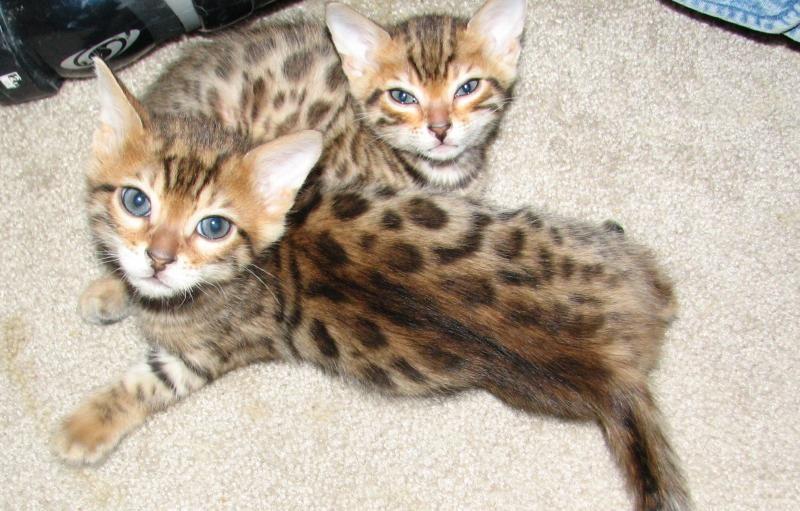 Bengal Cats For Sale | Philadelphia, PA #99644 | Petzlover Bengal Cat Denver Co