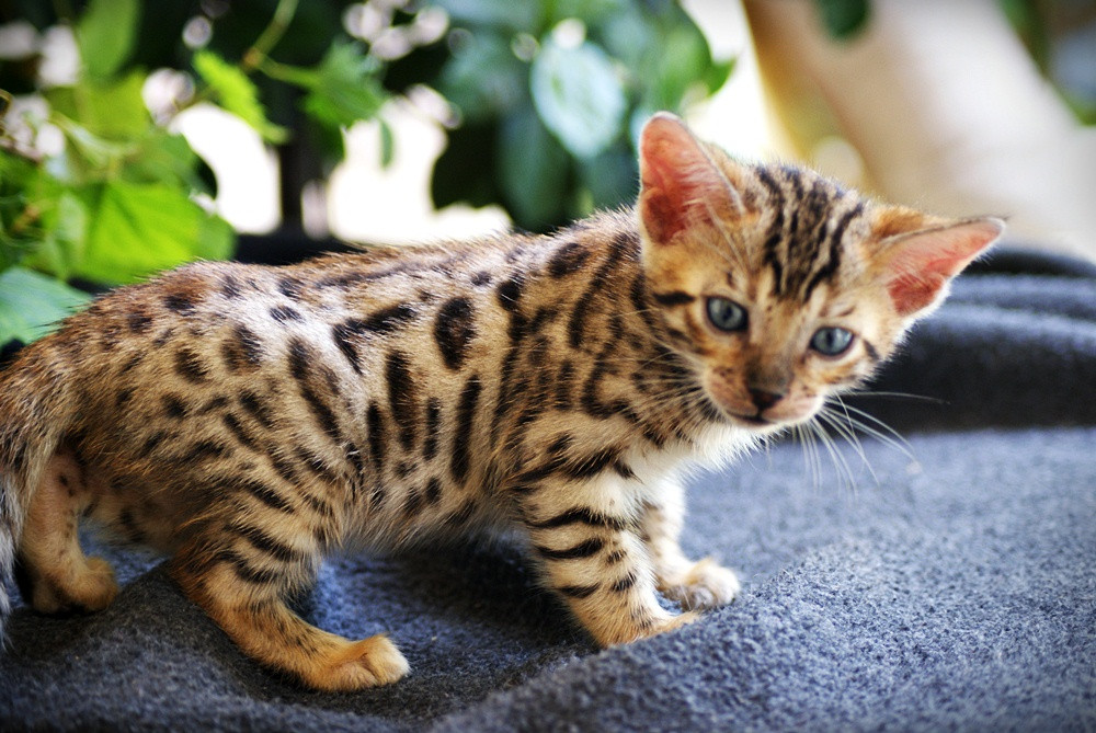 Bengal Cats For Sale | Dallas, TX #253867 | Petzlover