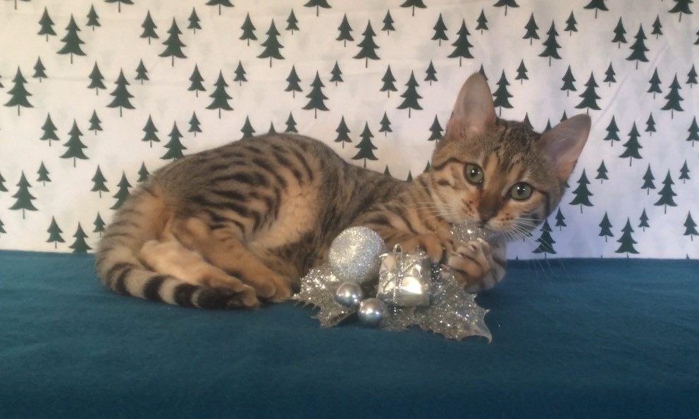 Bengal Cats Ny Sale
