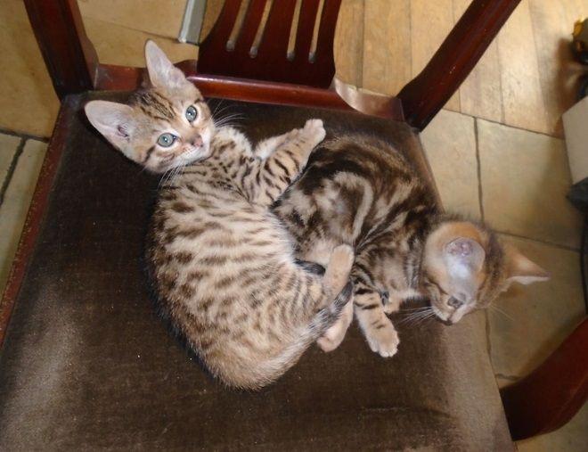 Bengal Cat Breeders In Utah - Bengal Cat Club