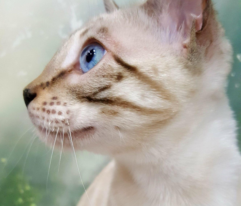 Bengal Cats Sale Nj