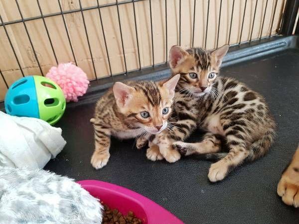 Bengal Cat Kittens for sale in Utah (UT) - us.mypetscloud.com