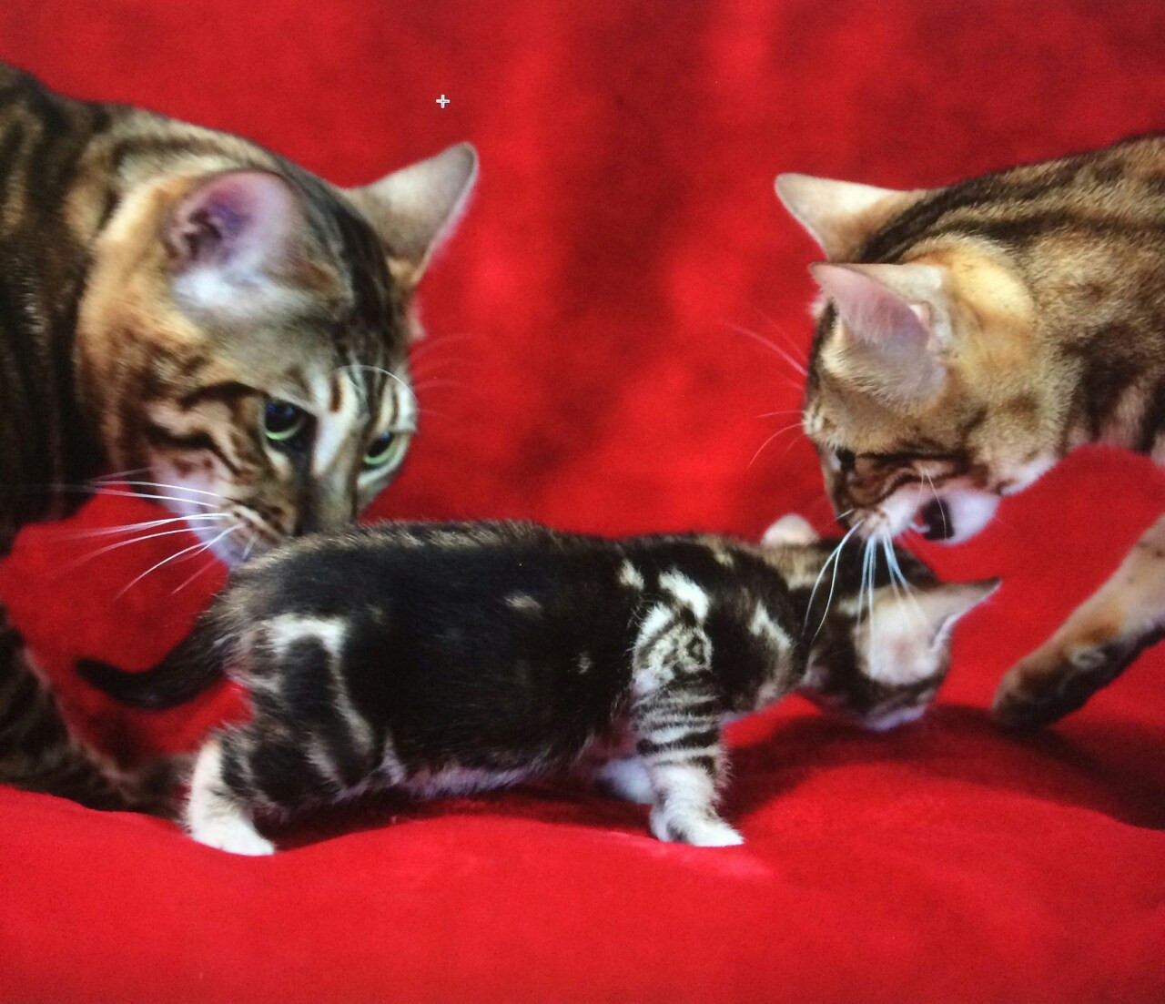 Bengal Cats For Sale | Waukegan, IL #281880 | Petzlover