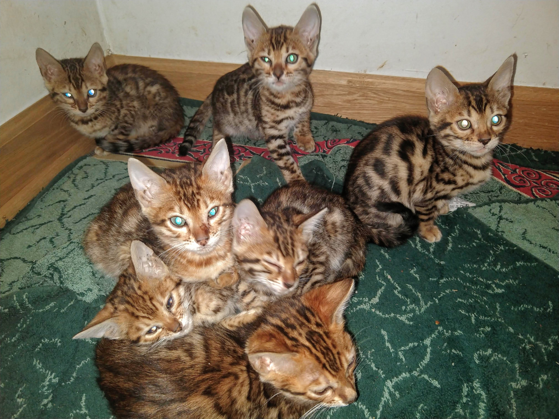 Bengal Cats For Sale | Barrington, IL #286252 | Petzlover