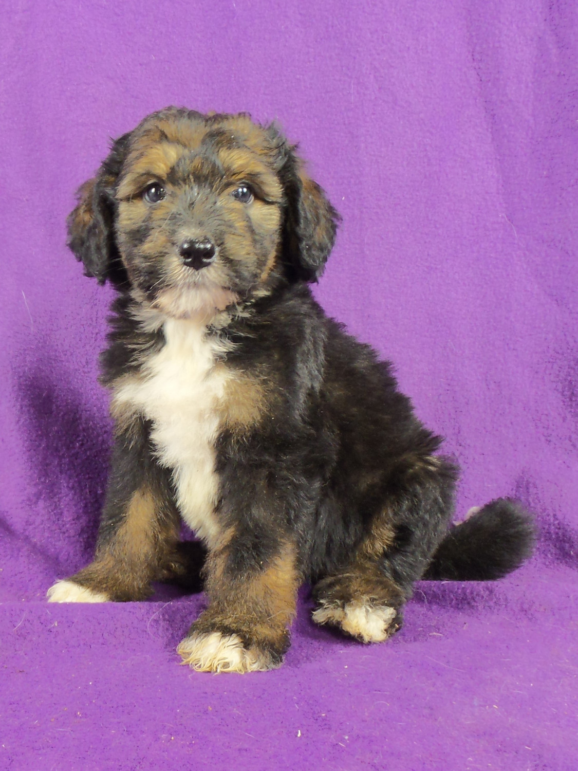 Bernedoodle Puppies For Sale Iowa 22 Ia 220733