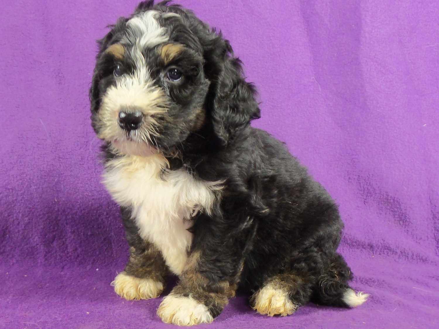 Bernedoodle Puppies For Sale Iowa 22 Ia 220739