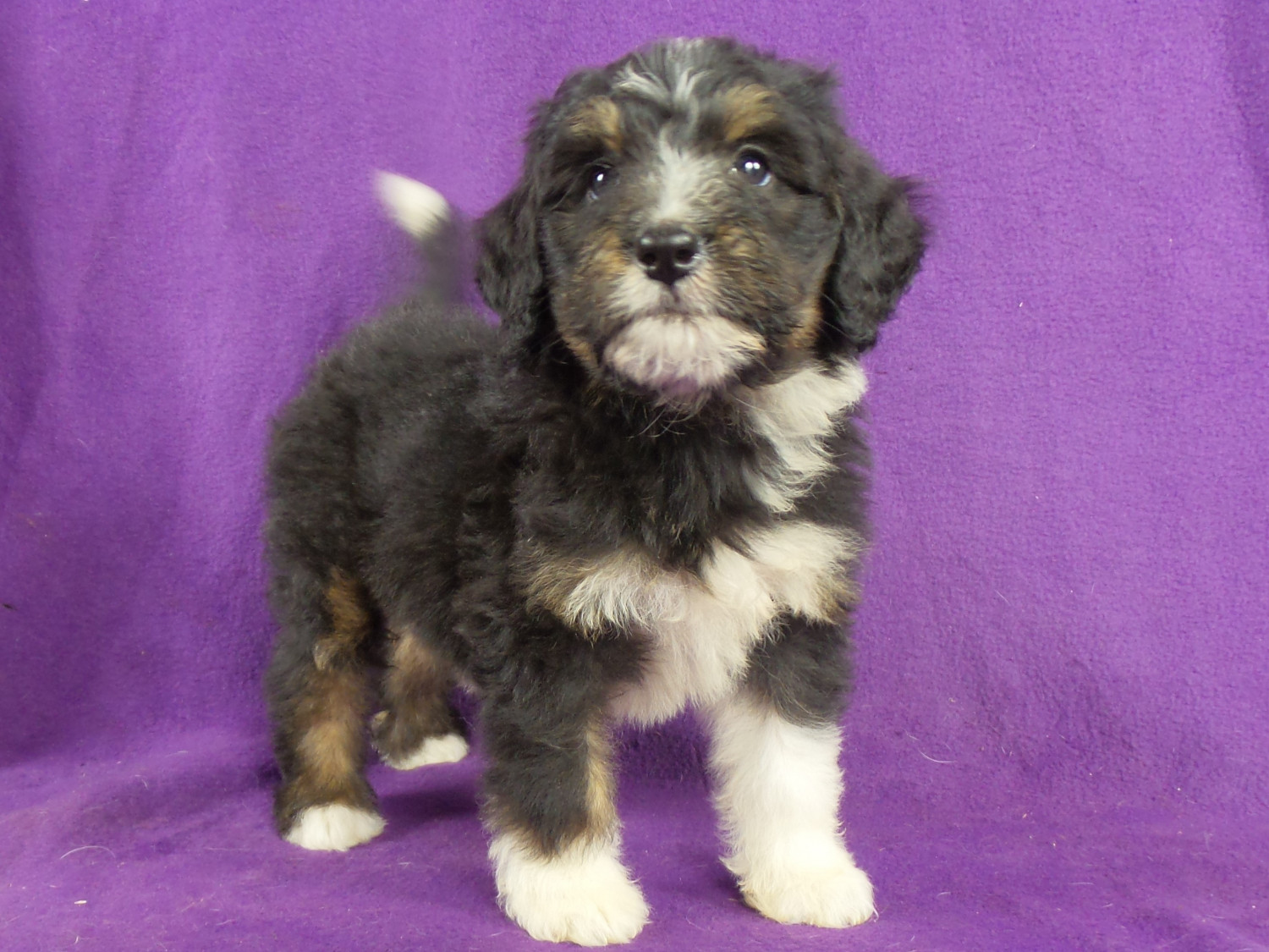 Bernedoodle Puppies For Sale Iowa 22 Ia 220787