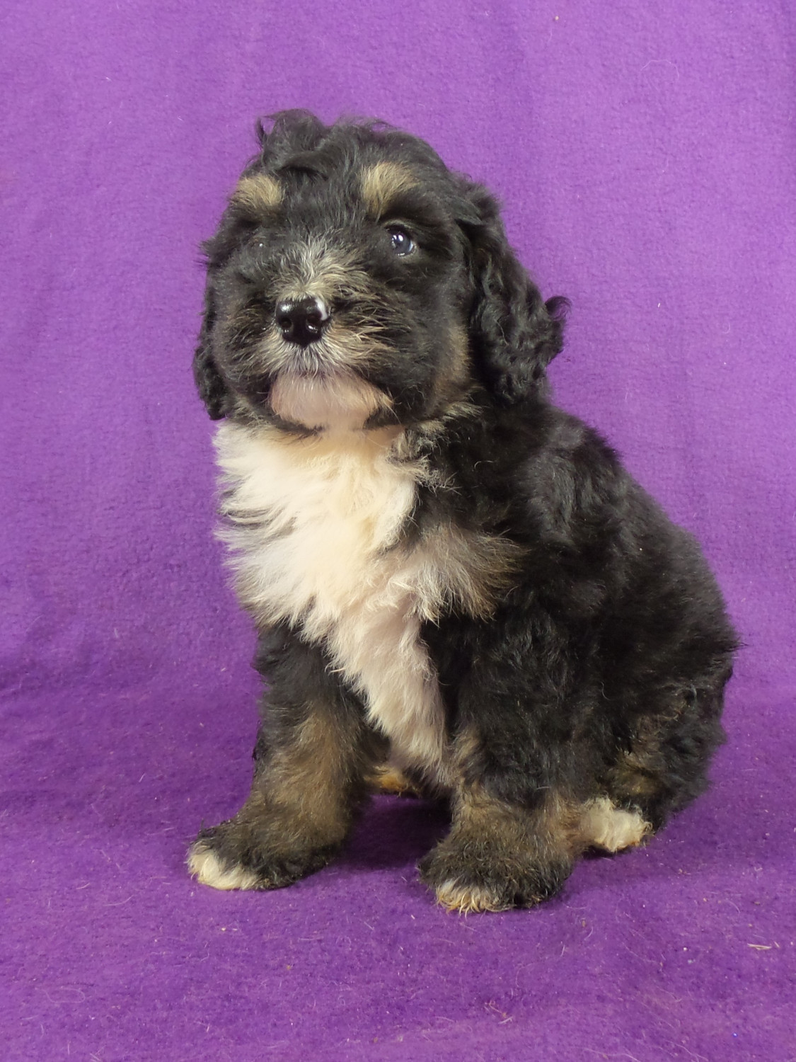 Bernedoodle Puppies For Sale Iowa 22 Ia 220797