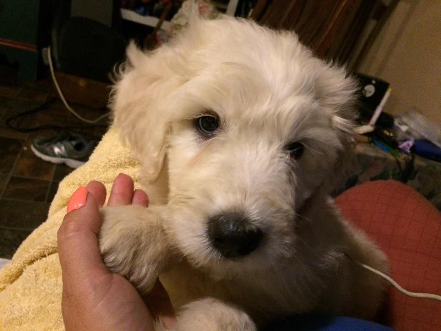 Bernedoodle Puppies For Sale Paintsville Ky 226819