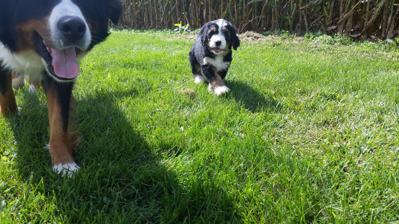 Bernedoodle Puppies For Sale Elizabethtown Pa 243558