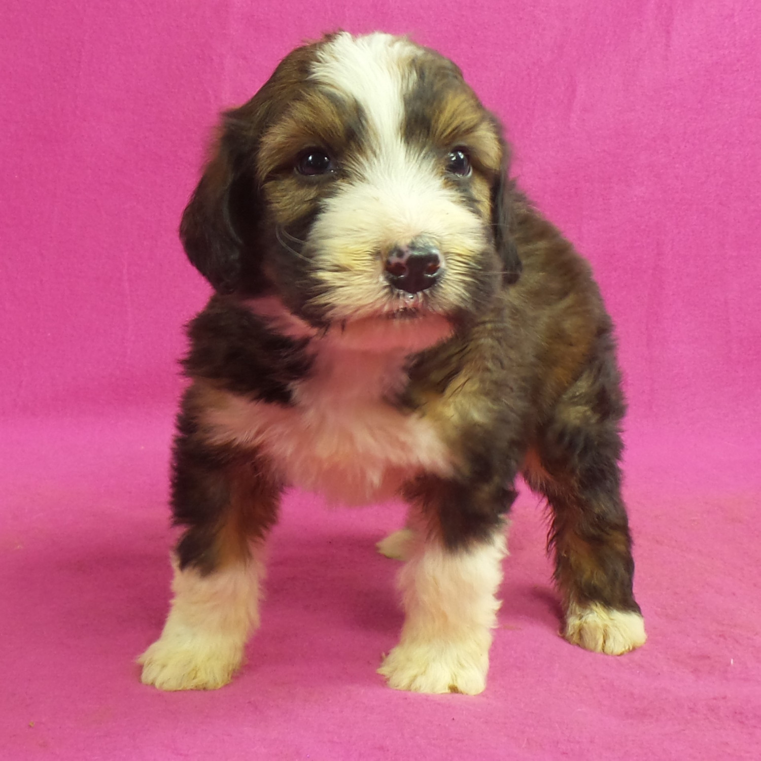 Bernedoodle Puppies For Sale Iowa 22 Ia 258697