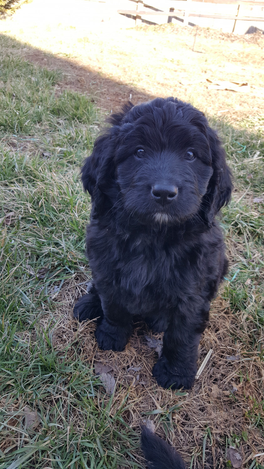 Bernedoodle Puppies For Sale Nashville Tn 275992