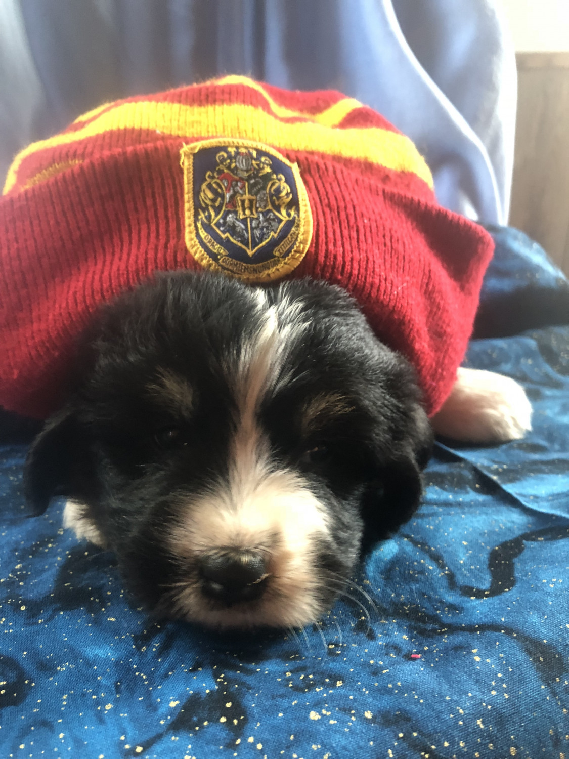 Bernedoodle Puppies For Sale Rimersburg Pa 282827