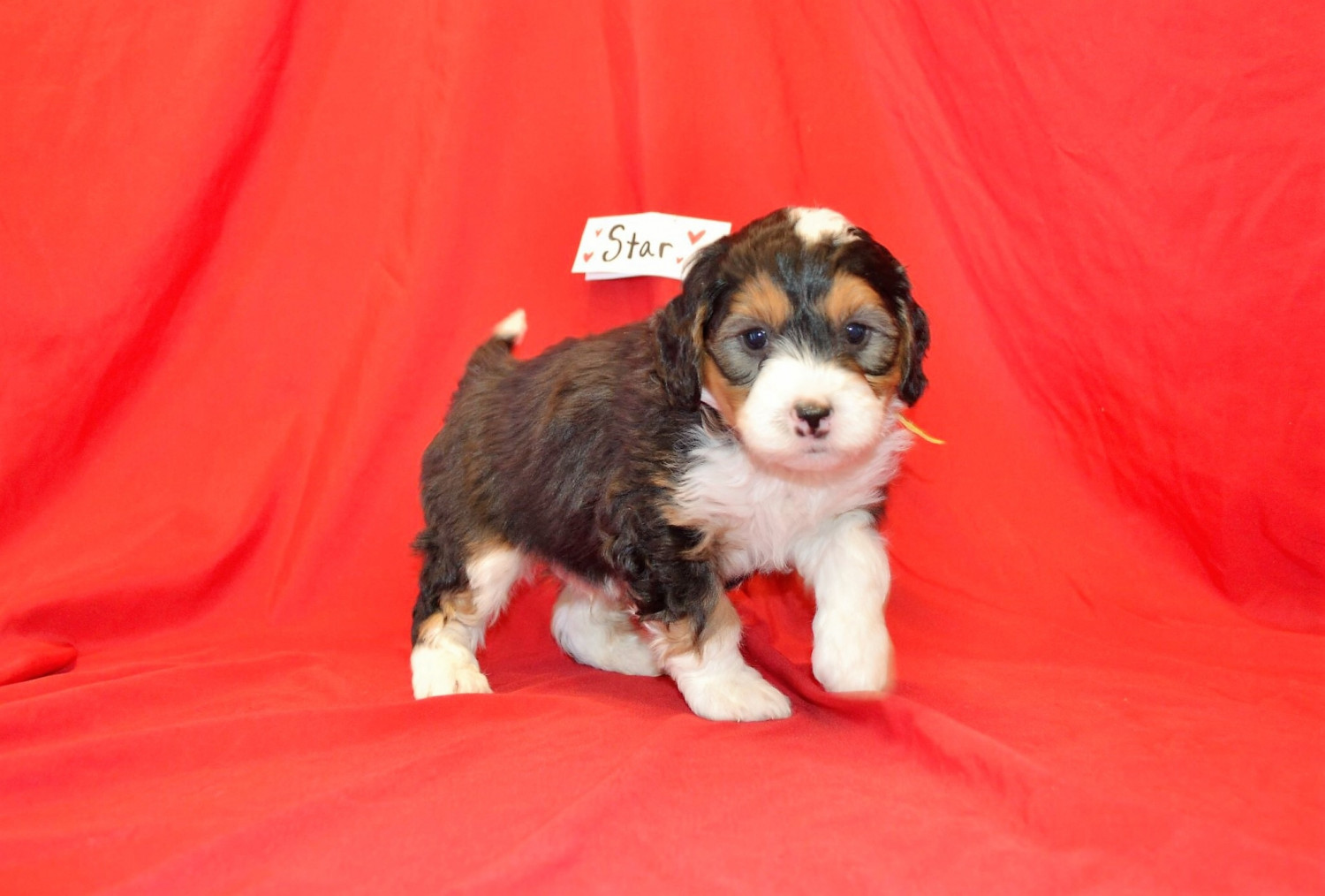 Bernedoodle Puppies For Sale Freedom In 290317