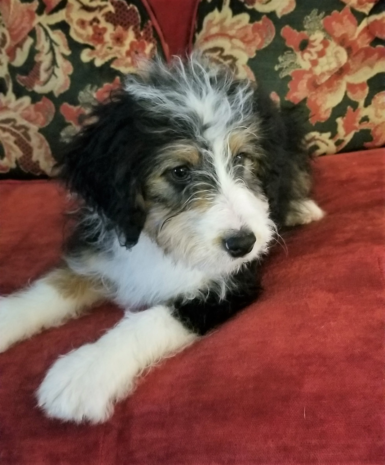 Bernedoodle Puppies For Sale Bellville Oh 291230