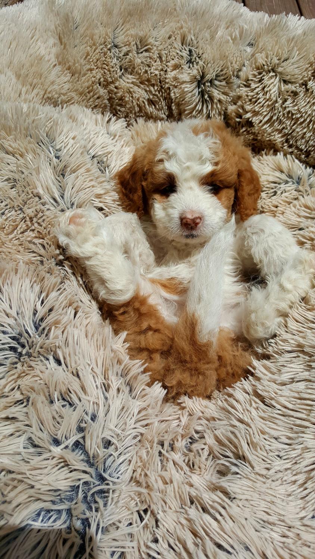 Bernedoodle Puppies For Sale Abingdon Va 301216