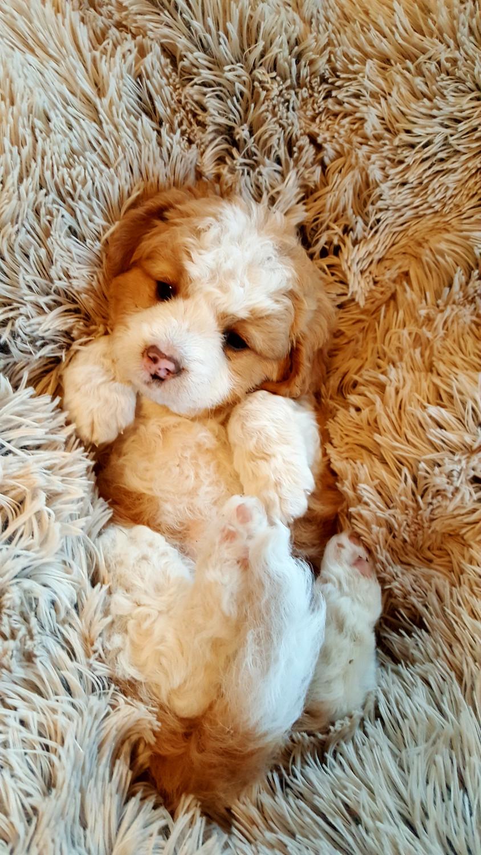 Bernedoodle Puppies For Sale Abingdon Va 301217