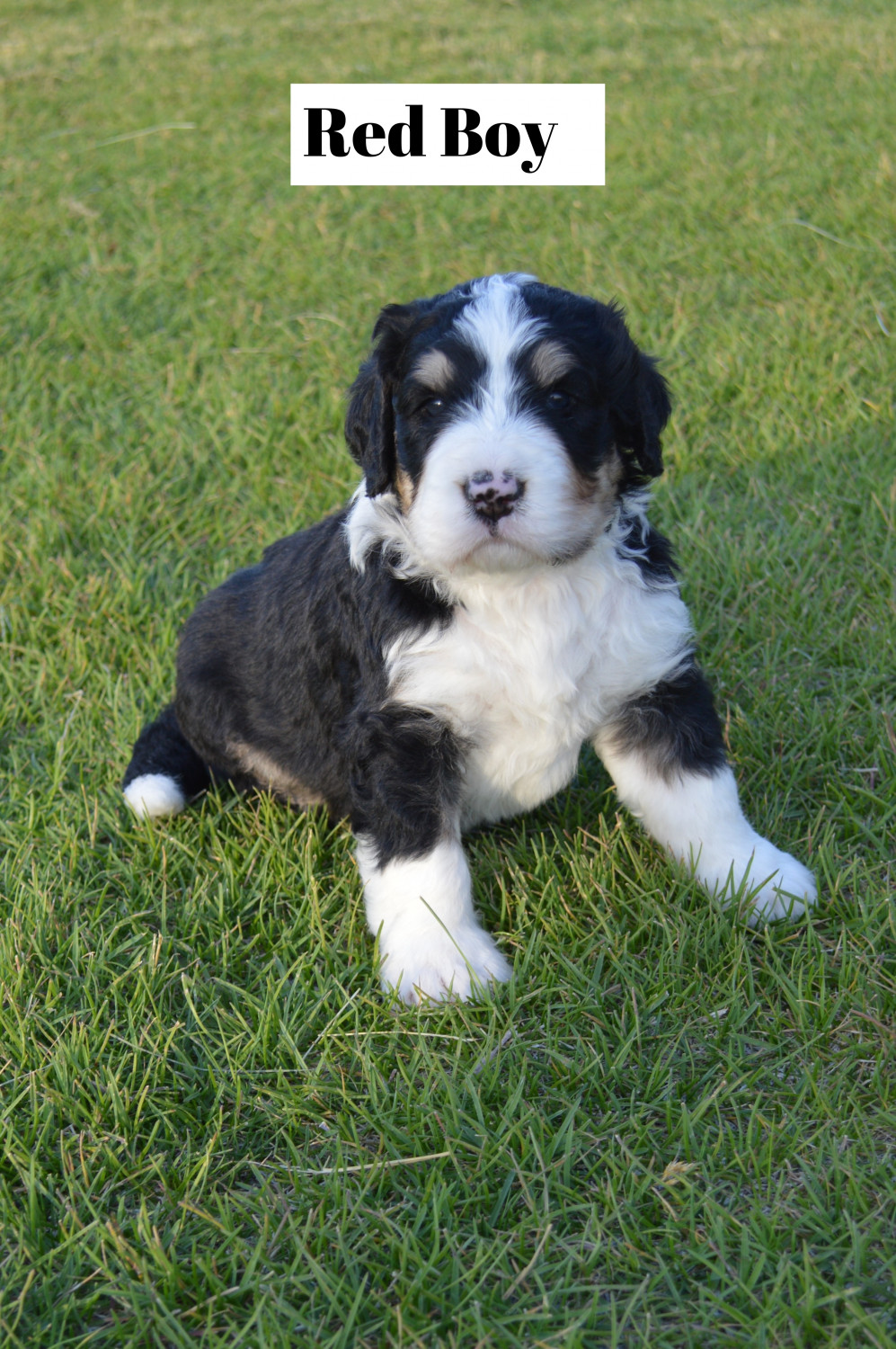 Bernedoodle Puppies For Sale Shelley Id 302484