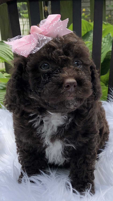 Bernedoodle Puppies For Sale Richmond Mi 302539