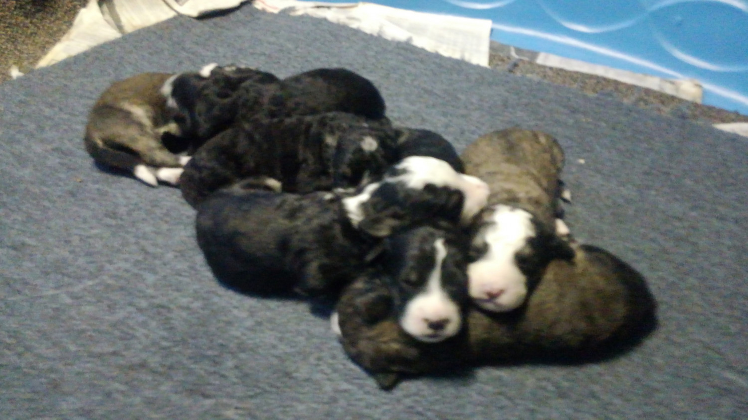 Bernedoodle Puppies For Sale Coal Township Pa 302818