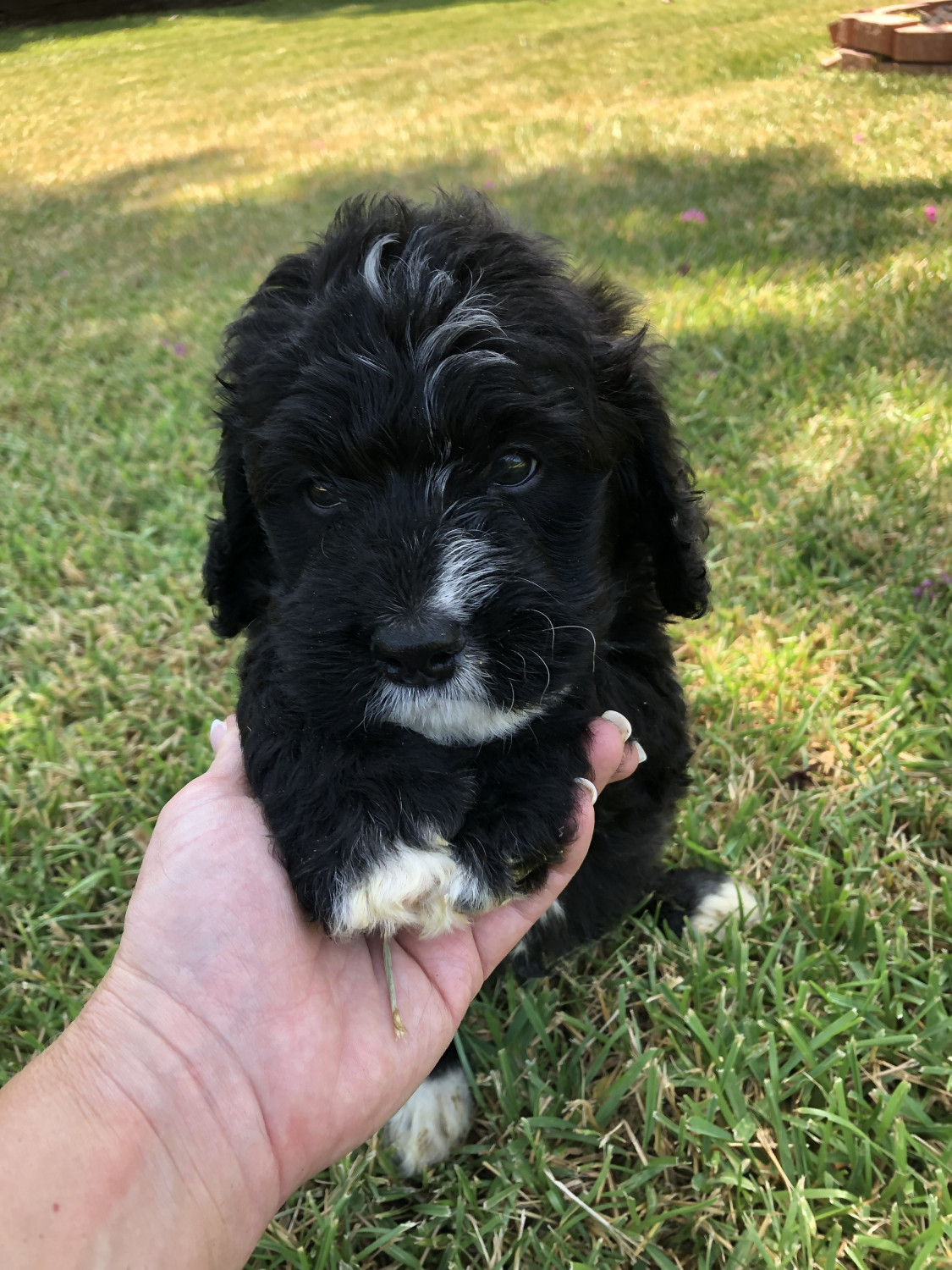 Bernedoodle Puppies For Sale Dallas Tx 304899