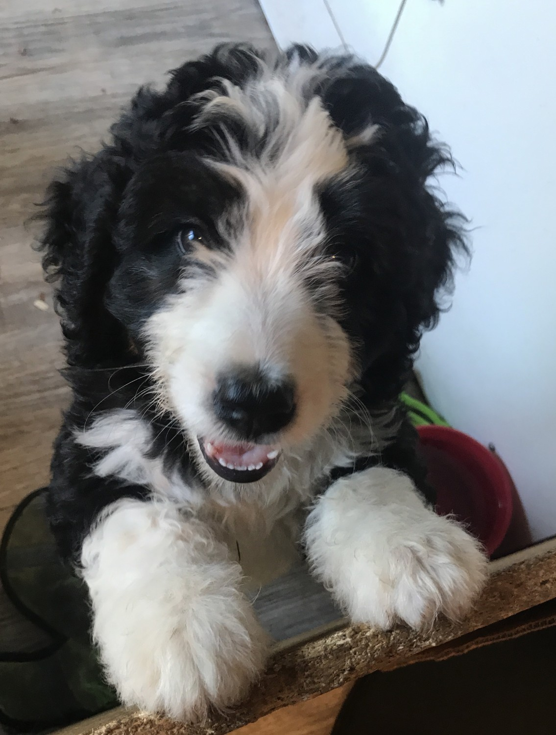 Bernedoodle Puppies For Sale Rapid City Sd 305846
