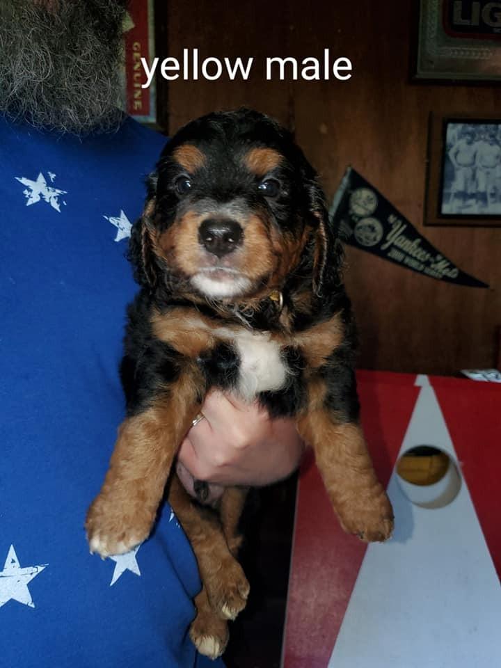 Bernedoodle Puppies For Sale Saint Paul Ks 306103