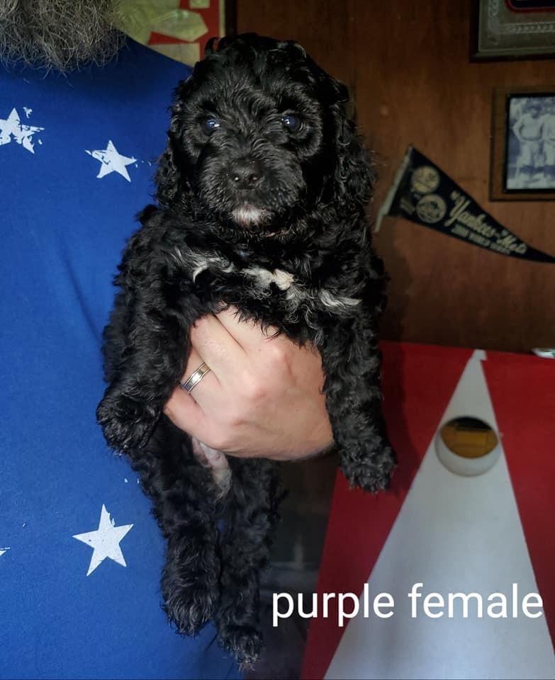 Bernedoodle Puppies For Sale Saint Paul Ks 306100