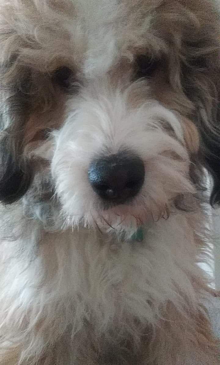 Bernedoodle Puppies For Sale Tacoma Wa 313007