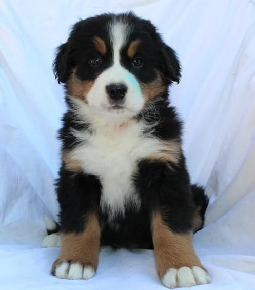 Bernese Mountain Dog Puppies For Sale Pittsburgh Pa 101742