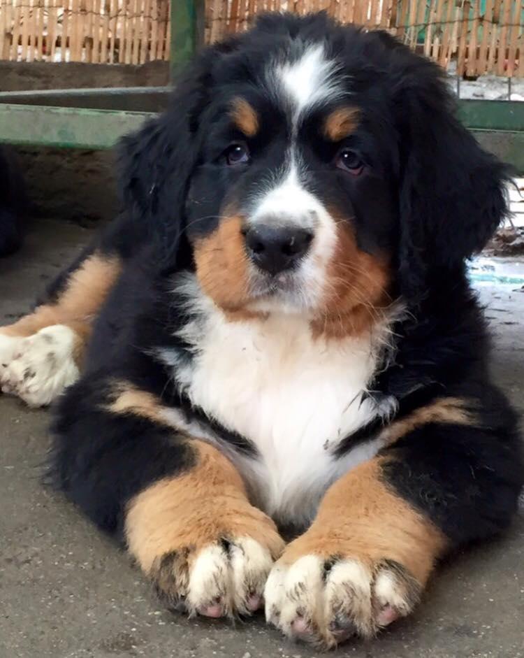 Bernese Mountain Dog Puppies For Sale Milwaukee Wi 110284