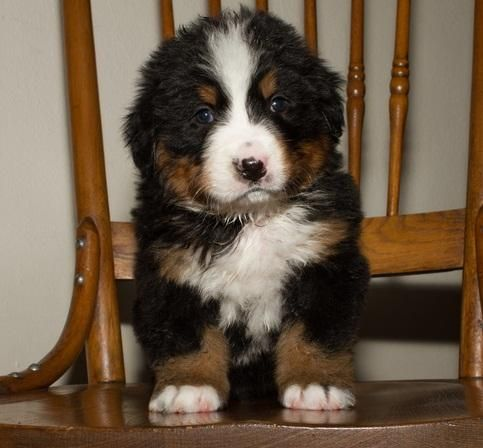Bernese Mountain Dog Puppies For Sale Dallas Tx 121857