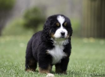 Bernese Mountain Dog Puppies For Sale Atlanta Ga 125411