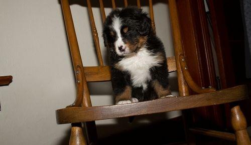 Bernese Mountain Dog Puppies For Sale Saint Petersburg Fl