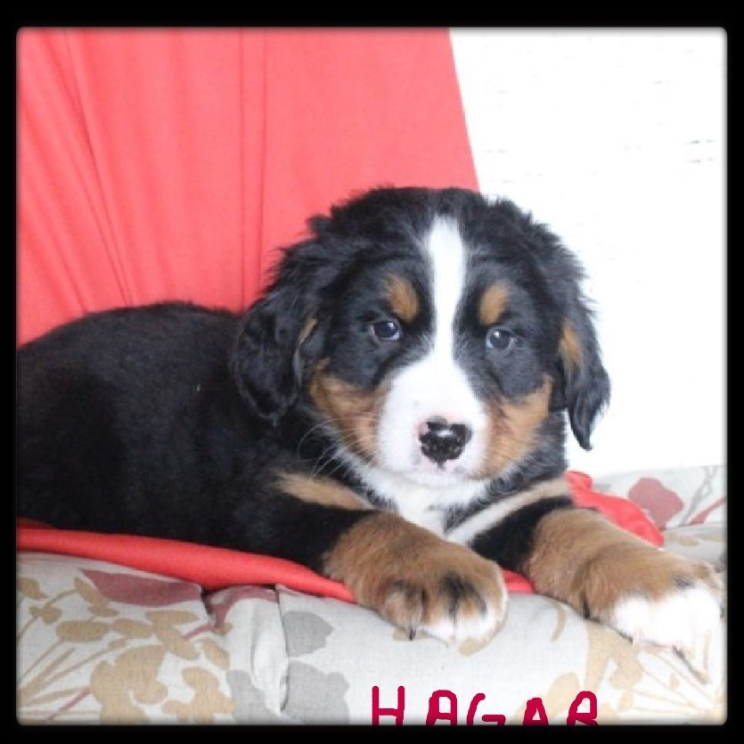 Bernese Mountain Dog Puppies For Sale | Hungary