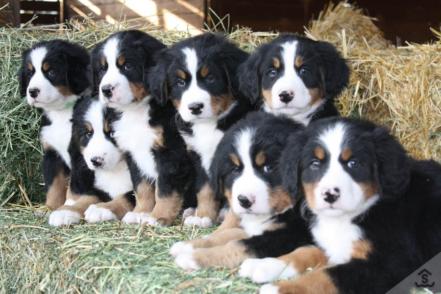 Bernese Mountain Dog Puppies For Sale Road 225 Ca 187590