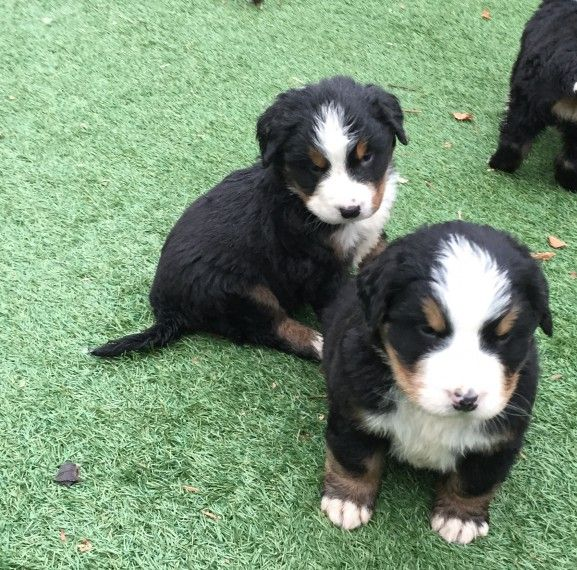 Bernese Mountain Dog Puppies Ct