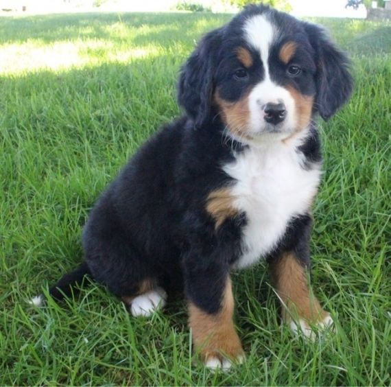 Bernese Mountain Dog Puppies For Sale Louisville Ky 200293