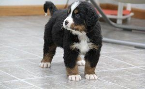 Bernese Mountain Dog Puppies For Sale In Nj