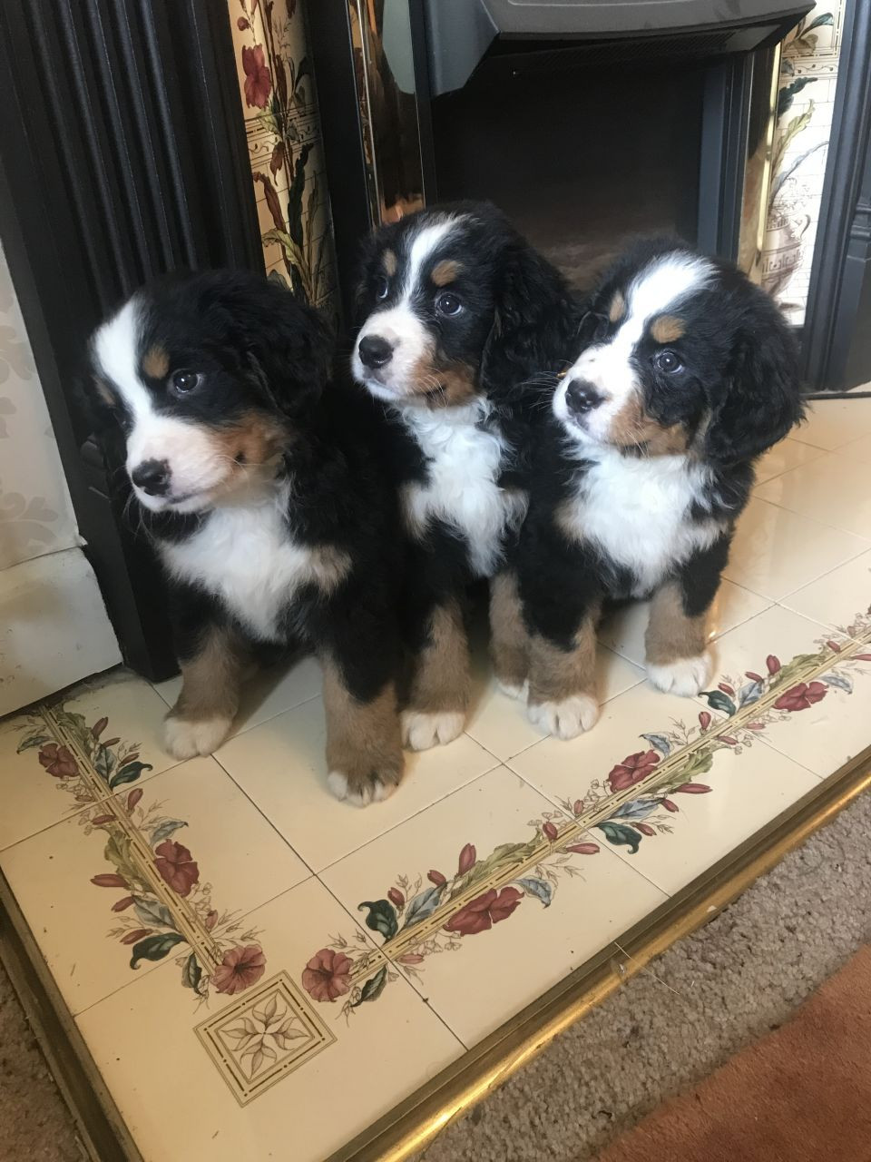 Bernese Mountain Dog Puppies For Sale San Diego Ca 235619