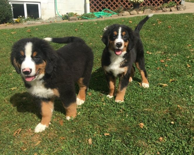 Bernese Mountain Dog Puppies For Sale Cleveland Tx 248599
