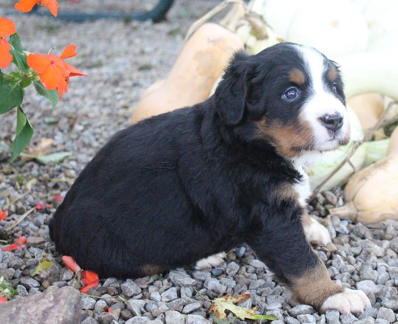 Bernese Mountain Dog Puppies For Sale | Japan
