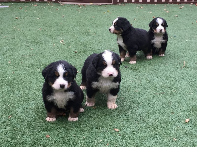 Bernese Mountain Dog Puppies For Sale In Texas