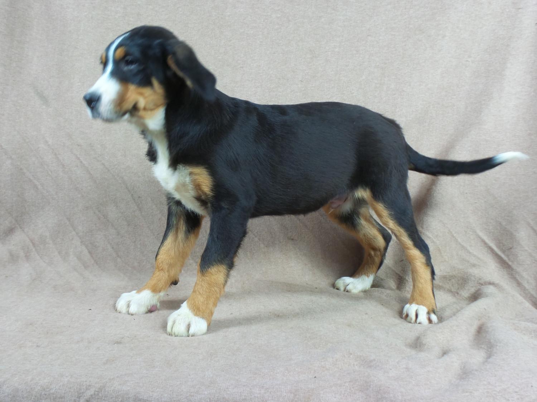 Bernese Mountain Dog Cart For Sale