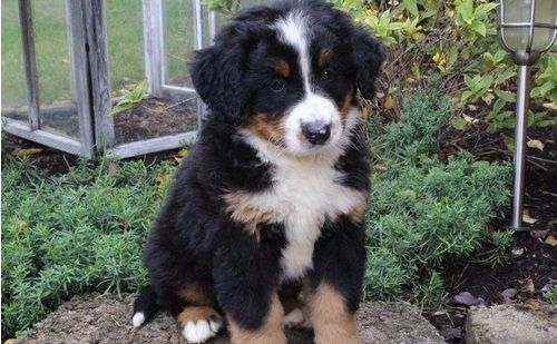 Bernese Mountain Dog Puppies New York
