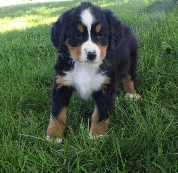 Bernese Mountain Dog Virginia For Sale